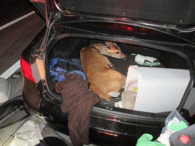 KEY DEER RESCUE: 3 Key Deer Found Hog Tied/Bleeding During Traffic Stop