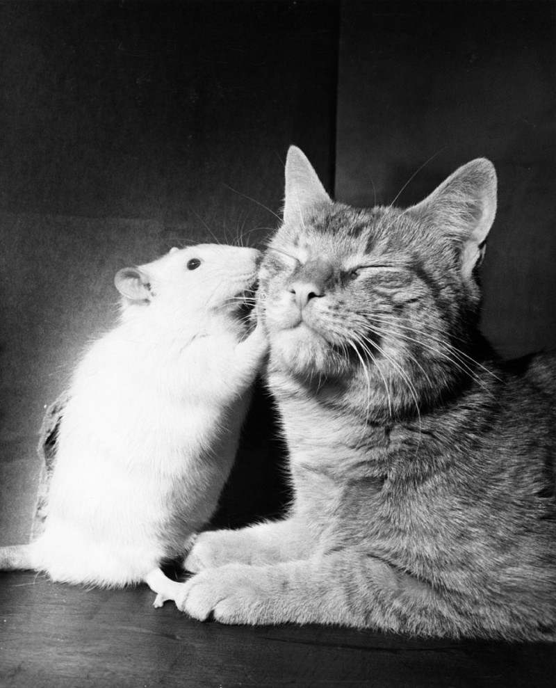 mouse-kissing-cat