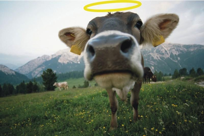 sacred cow-1