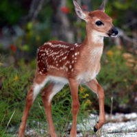 Refuge Manager: Key Deer Screwworm Threat Appears Over But We Must Remain Vigilant