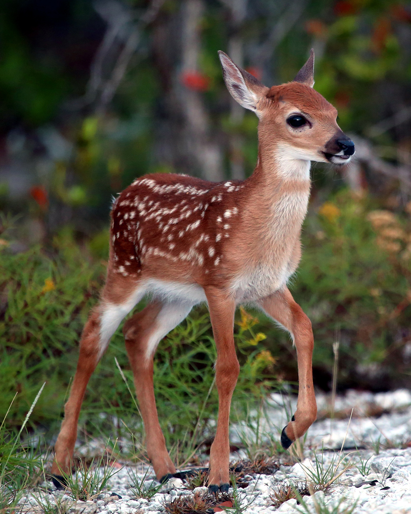 the characteristics of the key deer a deer species of florida keys Stone crab facts general facts about the stone crab's physical characteristics and its daily  we are a proud to sponsor fresh from the florida keys stone crab.