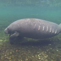 Watch for Manatees When Out on the Water