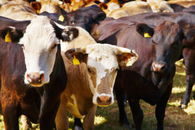 South Florida Awash in Cow Manure