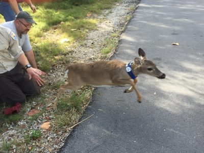 Thirty Female Deer at National Key Deer Refuge Fitted with Radio Collars that Will Help Track Them as Refuge Gears Up for Fawning Season
