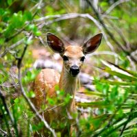 ​Volunteers Sought / National Key Deer Refuge Has Initiated Treatment of Screw Worm Infested Key Deer