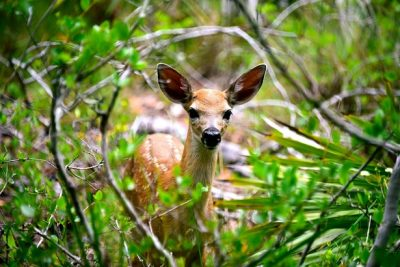 Wildlife Officials: Now More Than Ever -- Please Don't Feed The Key Deer