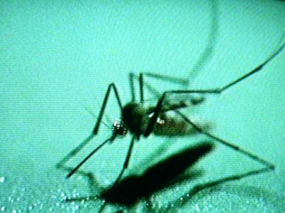 "GM Antibiotic-Dependent Mosquitoes: ""Are we pouring gasoline on one public health crisis hoping to treat another?"""