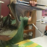 WHO DO YOU CALL IF YOU SEE A PELICAN ENTANGLED IN FISHING LINE SO THAT HE CAN'T EAT OR FLY?