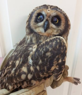 The Short-eared Owl rescued yesterday at Stadium Trailer Park suffering from impact related injuries has improved enough today to get a quick picture. This bird is a rare visitor to the Florida Keys. It is more stable today and on the road to recovery and release if it continues to improve....