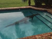 Crocodile Found in Swimming Pool [video]