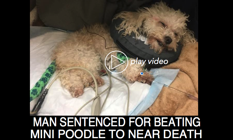Man Sentenced For Beating Mini Poodle to Near Death