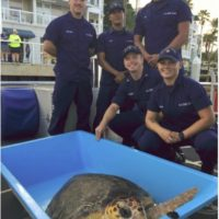 Coast Guard, Turtle Hospital Crews Release 150-Pound Loggerhead Sea Turtle Near Key West