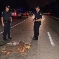 Officers Stops Traffic for Turtle