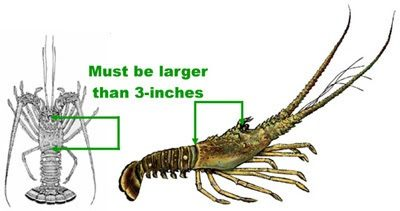 Spiny Lobster Regular Recreational and Commercial Season Starts August 6